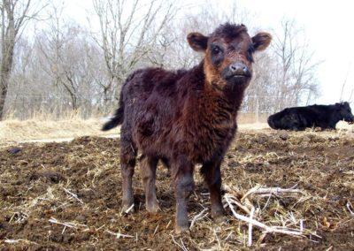Dexter bull Gregory as calf