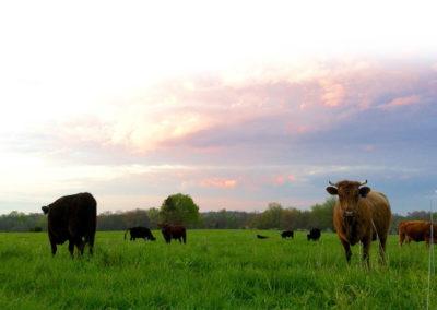 Niva with the herd