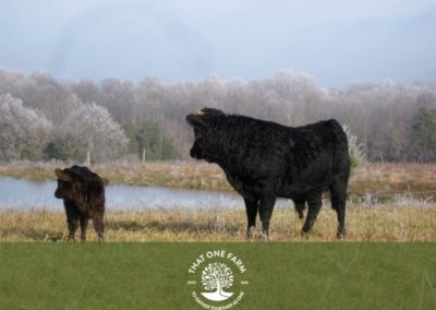 Dexter cattle at the pond