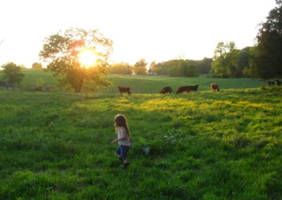 Child playing in pasture with Dexter cattle
