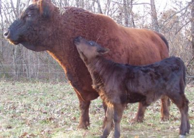 Rusty (Re-poll) and calf